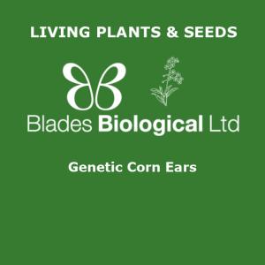Genetic Corn Ears